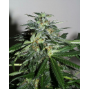 Cyber Cristal Kc Brains Seeds
