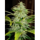 Auto Hindu Kush Low Life Seeds