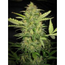 Auto Lemon Skunk Low Life Seeds