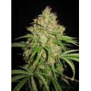 Auto White Moscow Low Life Seeds