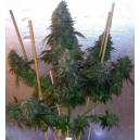 Motavation Regular Magus Genetics Seeds