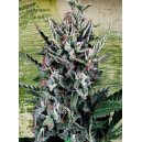 Auto Silver Bullet Ministry Of Cannabis