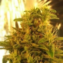 Haze 1 Nirvana Seeds