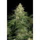 Allkush Paradise Seeds
