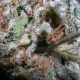 Collection Pack Indica Champions Paradise Seeds