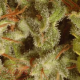 Collection Pack Sativa Champions Paradise Seeds