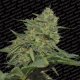 Original Cheese IBL Paradise Seeds