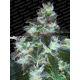 Original White Widow IBL Paradise Seeds