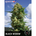Black Widow Positronics Seeds