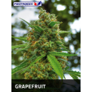 Grapefruit Positronics Seeds