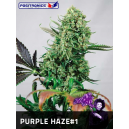 Purple Haze 1 Positronics Seeds