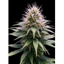 New York Diesel Auto Professional Seeds