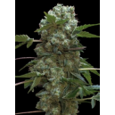 Doble AK 47 Professional Seeds