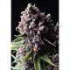Auto Purple Pyramid Seeds