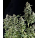 Auto Northern Lights Pyramid Seeds