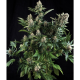 Auto White Widow Pyramid Seeds