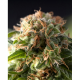 Fresh Candy Fem Pyramid Seeds