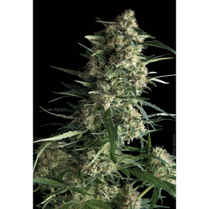 Galaxy Fem Pyramid Seeds