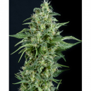 Kryptonite Fem Pyramid Seeds