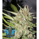 Hawaiian Wave Ripper Seeds