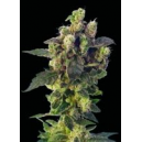 Blue Thunder Sagarmatha Seeds