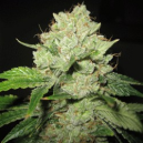 Cal-train Wreck Sagarmatha Seeds