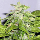 Early Bird Skunk Sagarmatha Seeds