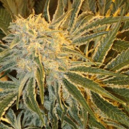 Northern Lights no 9 Sagarmatha Seeds