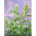 Yumbolt Sagarmatha Seeds