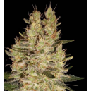 Crazy Miss Hyde Samsara Seeds