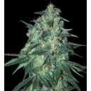 Jekyll Passion Samsara Seeds
