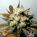 G13 N.Y.C. Diesel Soma Seeds