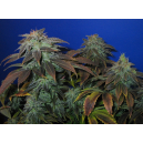 Heavy Duty Fruity T.H. Seeds