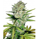 Super Skunk Automatic White Label Seed Company