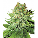 Northern Lights Automatic White Label Seed Company