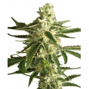 White Diesel Haze Automatic White Label Seed Company