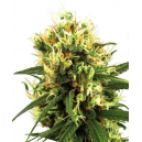 White Haze Automatic White Label Seed Company