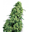 Skunk 1 Fem White Label Seed Company
