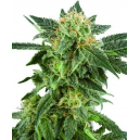 Snow Ryder Fem White Label Seed Company