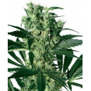 X Haze Fem White Label Seed Company