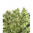 Female Mix White Label Seed Company