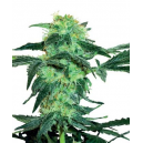 White Ice Fem White Label Seed Company