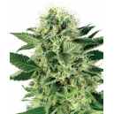 Northern Light Fem White Label Seed Company