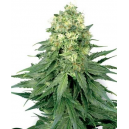 White Widow Fem White Label Seed Company