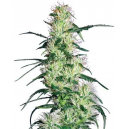 Purple Haze Fem White Label Seed Company