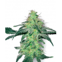 White Skunk White Label Seed Company