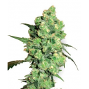 Super Skunk White Label Seed Company