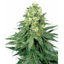 White WIdow White Label Seed Company