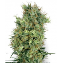 Cali Orange Bud White Label Seed Company