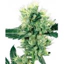 White Haze White Label Seed Company